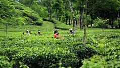 Tea cultivation to be widened on slopes of Mymensingh Garo hills