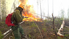 In Siberia forests, climate change stokes...