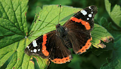 Key to butterfly climate survival may be colour coded