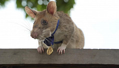 Landmine detection rat wins top UK animal...