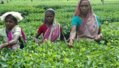 Thakurgaon tea growers happy as prices of tea leaves soar