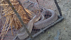 6-feet cobra found in Satkhira