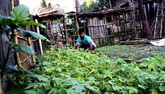 Papaya sapling farming reduces farmers'...