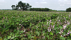 Farmers in delight as summer bean cultivation continues to reap profits