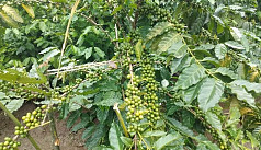 Coffee cultivation shows promise in...
