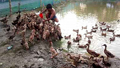 Duck farming becomes boon for many in...