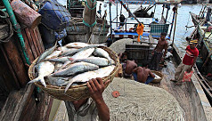 Ban on ilish catching from Tuesday midnight
