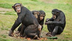Old is gold: Like humans, aging chimps prioritize important friendships
