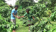 Coffee possibly the next big cash crop in Tangail