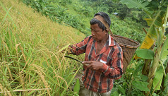 Jhum farmers happy with robust yield in Rangamati