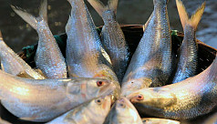 Ilish production declines in Padma-Meghna of Chandpur