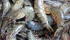 Freshwater Aquaculture: Overcoming challenges of prawn farming in Rajshahi