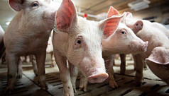 Canada reports rare strain of swine...