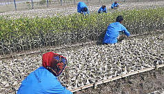 Is mangrove afforestation the climate...