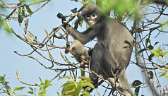 Newly discovered primate in Myanmar already facing extinction