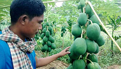 Commercial cultivation of papaya gaining...