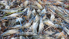 Narail lobster farmers not happy with...