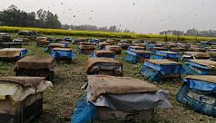 Honey harvesting brings boon for Rajshahi,...