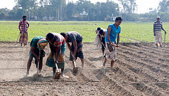 Barind farmers busy cultivating...