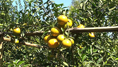 Orange cultivation brings success to Chapainawabganj farmers