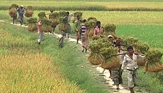 Aman rice production exceeds target in Rangpur, Jessore