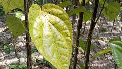 Bagerhat Betel leaf farming hit hard by root rot, fungal diseases