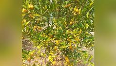 China orange sees successful farming...