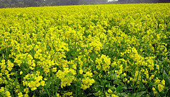 Excellent mustard production likely in Rangpur region