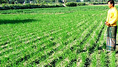 Farmers eyeing bumper wheat production...