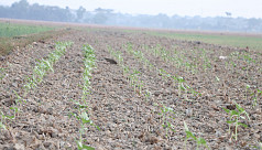 Farmers across the country opt for sunflower...