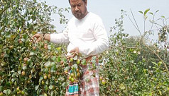 Farmers successfully cultivate Indian...