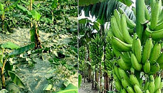 Rangpur farmers see boost in banana...