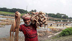 Record price makes jute farmers jubilant in Rajshahi
