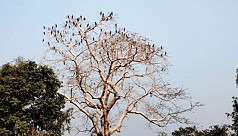 A Shimul tree full of Pankouri