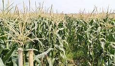 South-western districts expect bumper maize production