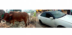 Man detained while stealing cow by a private car in Brahmanbaria